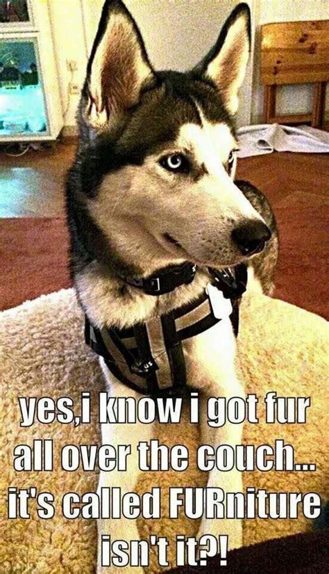 Funny Husky Memes - 14 best husky memes of all time