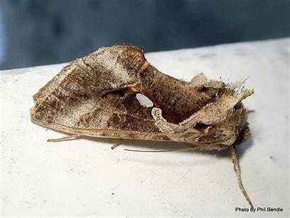 Chrysodeixis Eriosoma Looper Moth Garden Nz Filename