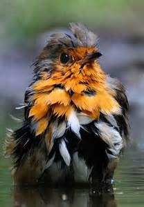 Robin Bird Feather