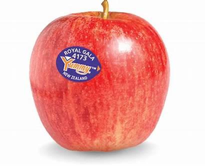 Gala Royal Apple Yummy Fruit Apples Nz