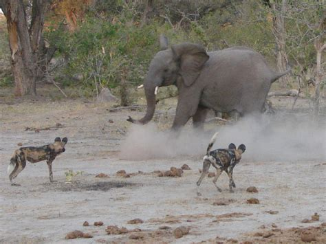 Elephants chasing away wild dogs, Selinda, Botswana