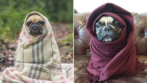 Dogs Wrapped In Blankets Like Adorable Burritos