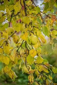 Tomaten Gelbe Blätter : gelbe bl tter am apfelbaum woher kommen sie ~ Lizthompson.info Haus und Dekorationen