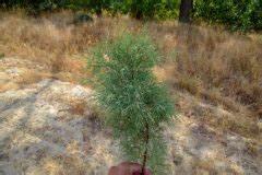 Kirschlorbeer Selber Ziehen : dipladenia so vermehren sie die mandevilla ber stecklinge ~ Orissabook.com Haus und Dekorationen