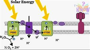 Photosynthesis Light Dependent Reactions Animation  How