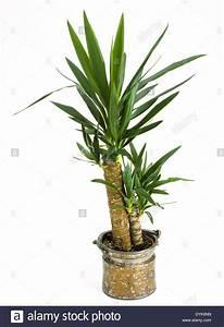Yucca Palme Blüht : zimmerpflanzen yucca palme in einem topf indoor plants ~ Lizthompson.info Haus und Dekorationen