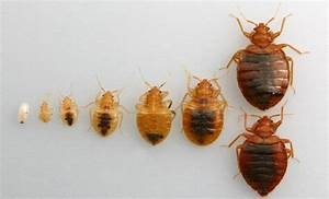 clear bed bugs 28 images clear bed bugs id bug casings With clear bed bugs