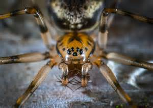 macro photography  brown jumping spider  stock photo