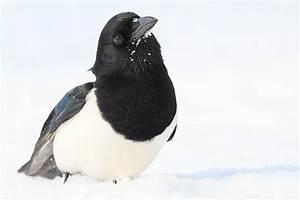 Elster Vogel Vertreiben : die elster im winterv gel portr t nabu ~ Lizthompson.info Haus und Dekorationen