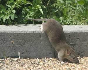Ratte Im Haus : rattengift rattenk der rattenfallen rattenbek mpfung ~ Buech-reservation.com Haus und Dekorationen