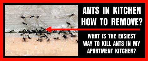 Kitchen Apartment Is Filled With Ants And Roaches