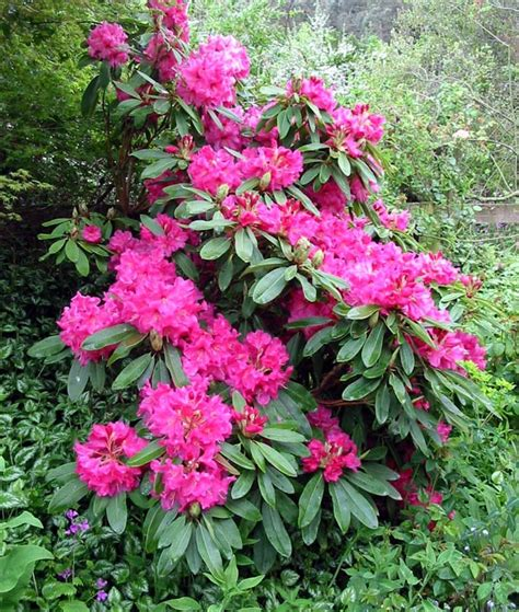 pictures of rhododendron photos of nature photos of rhododendron flowers