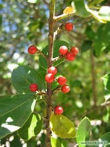 Baum Mit Roten Beeren : immergr ner kreuzdorn rhamnus alaternus fr chte bestimmen immergr ner kreuzdorn ~ Markanthonyermac.com Haus und Dekorationen