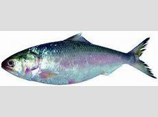 National Fish « banglacom