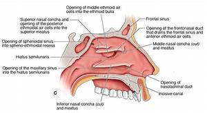 What Sinuses Drain Into The Middle Meatus