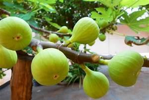 Feigenbaum Im Garten : feigenbaum im garten so f hlt er sich am wohlsten ~ Orissabook.com Haus und Dekorationen