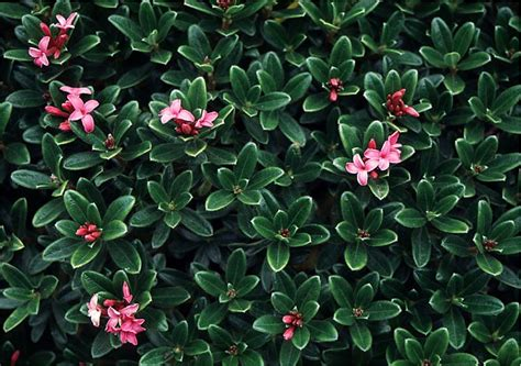small evergreen shrubs zone 7 beechwood landscape architecture and construction daphne featured plant of the day