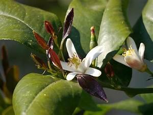 Dünger Für Zitronenbaum : zitruspflanzen galerie herrliche bilder von zitronen und ~ Watch28wear.com Haus und Dekorationen