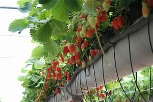 Faire Pousser Des Fraises : une plantation de fraisiers dans des goutti re hors sol avec arrosage culture fraises ~ Melissatoandfro.com Idées de Décoration
