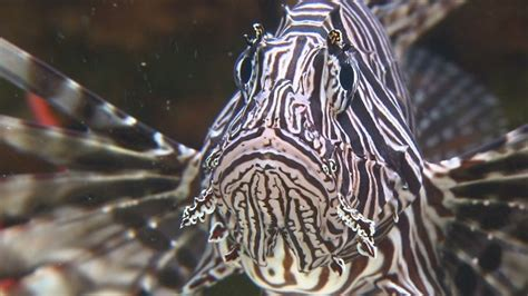 Lionfish Infestation In The Atlantic Ocean Now A Growing