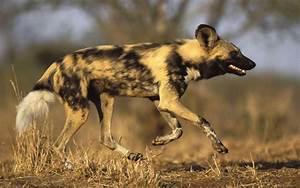 Download African Wild Dog Wallpaper Gallery