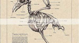 Printable Art Instant Download - Raven Crow Skeleton Diagram Vintage