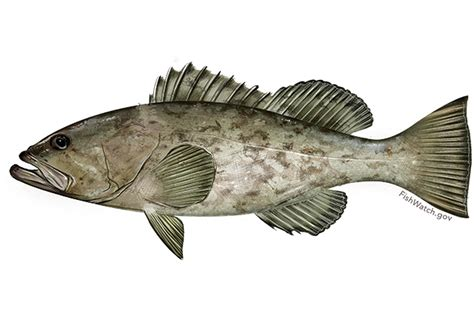 grouper gag fishing noaa mycteroperca atlantic south species seasonal closures microlepis known belly fisheries january april