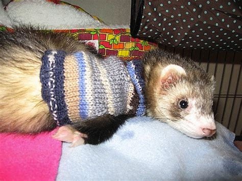 ferret sweaters 15 knitting and crochet patterns to keep your pet warm