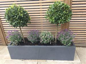 Beautiful, Bay, Trees, Teamed, With, Lavender, In, A, Stylish, Grey, Rectangular, Pot