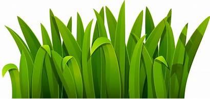 Grass Cartoon Grama Transparent Clipart Leaf