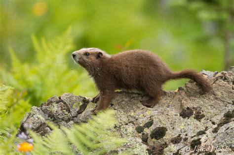 Small Mammals  Smsg  Small Mammal Specialist Group
