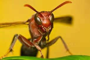 Aggressive Red Wasp