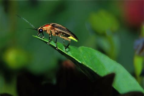 Fireflies! 12 Things You Didn't Know About Lightning Bugs