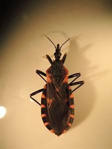 Never Kiss A Kissing Bug