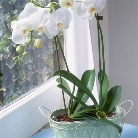 orchid bloom orchids rebloom much too photolibrary burgess linda getty