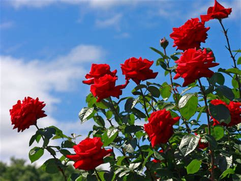 red rose beauty flowers nature background wallpapers  desktop nexus image