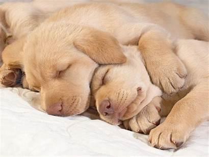 Sleeping Puppies Puppy Retriever Golden Sleep Dog