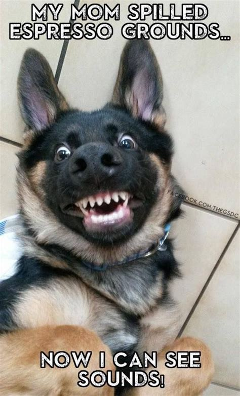 I Can See Sounds Meme - 120 best images about german shepherd memes on pinterest german shepherd breeds police