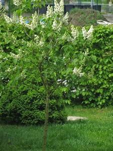 Johannisbeeren Hochstamm Kaufen : sonniger april blauregen und flieder bergblumengarten ~ Lizthompson.info Haus und Dekorationen
