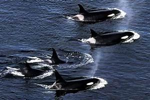 Killer Whale photos