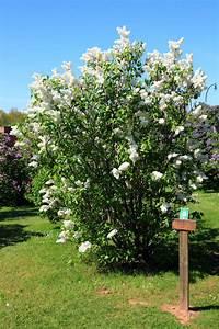 Wann Blüht Flieder : pflanzen schneiden hortensien obstb ume stauden und co ~ Lizthompson.info Haus und Dekorationen