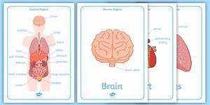 Human Body Organs Display Posters