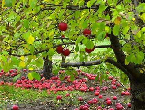 How To Plant An Apple Tree  Bob Vila
