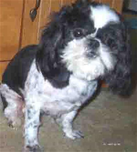cushings disease  dogs symptoms  treatment