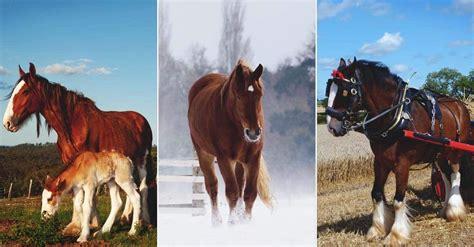 draft breeds horse homestead help morningchores pickity horses