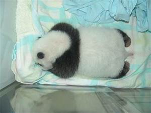 Baby Panda - The new born cub was so small and fragile ...