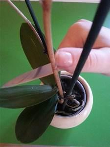 Orchideen Umtopfen Wurzeln Schneiden : verbl hte orchideen schneiden ~ A.2002-acura-tl-radio.info Haus und Dekorationen