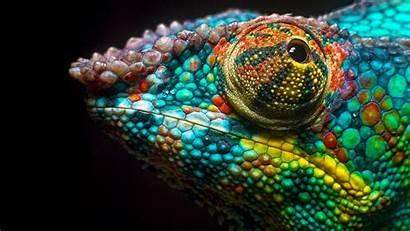 4k Chameleon Colors Wallpapers Ultra Desktop Background