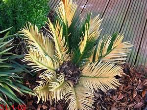 Palme Gelbe Blätter : cycadeen palmfarne exoten und palmen claus willich ~ Lizthompson.info Haus und Dekorationen