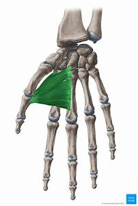 Adductor Pollicis  Origin  Insertion And Function